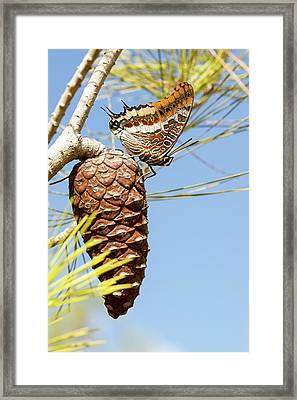 Two-tailed Pasha (charaxes Jasius) Framed Print by Photostock-israel