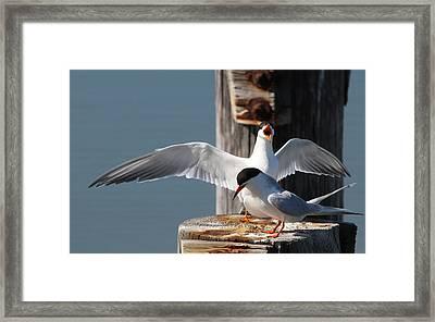 Two Terns Framed Print by Diane Rada