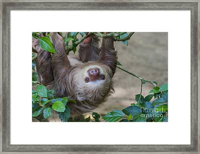 Two Toed Sloth Hanging In Tree Framed Print by Patricia Hofmeester