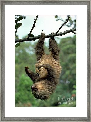 Two-toed Sloth Juvenile Framed Print by Gregory G. Dimijian, M.D.