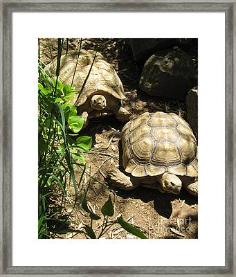 Two Tortoises Framed Print by CML Brown