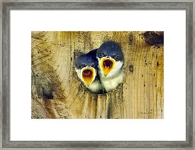 Two Tree Swallow Chicks Framed Print by Christina Rollo