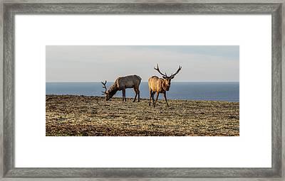 Two Tule Elk Cervus Canadensis Nannodes Framed Print