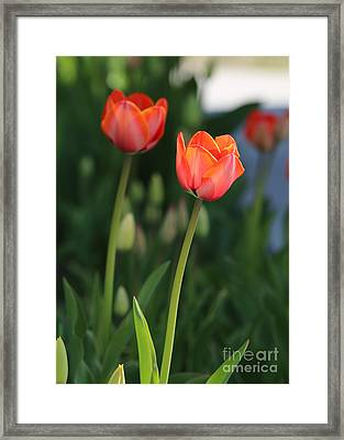 Two Tulips Framed Print by Carol Groenen