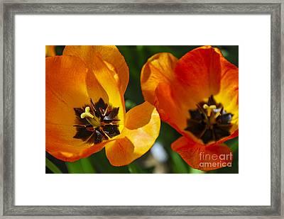 Two Tulips Framed Print by Elena Elisseeva