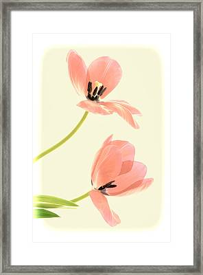 Two Tulips In Pink Transparency Framed Print