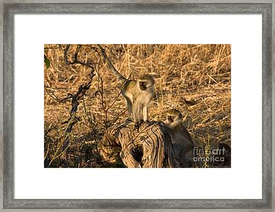 Two Vervet Monkeys Framed Print by Chris Scroggins