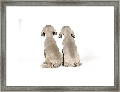 Two Weimaraner Puppies Framed Print by John Daniels