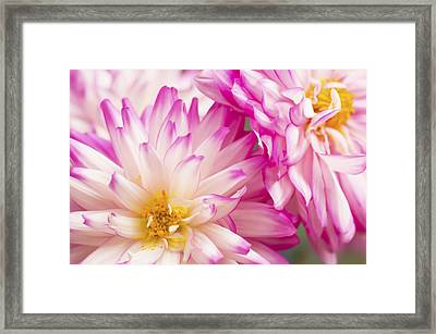 Two White And Pink Decorative Dahlias Framed Print by Daphne Sampson