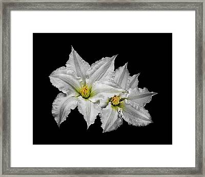 Two White Clematis Flowers On Black Framed Print