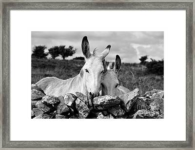 Two White Irish Donkeys Framed Print by RicardMN Photography