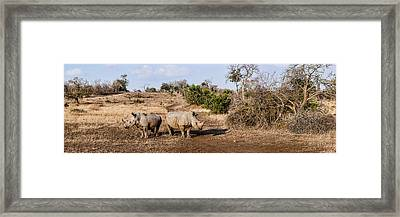 Two White Rhinoceros Ceratotherium Framed Print by Panoramic Images