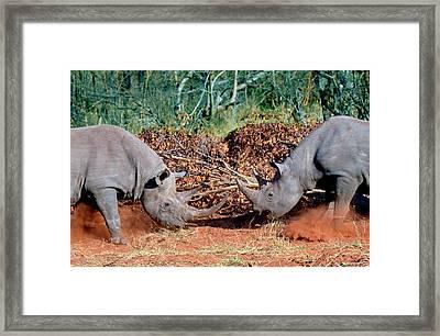Two White Rhinoceros, Square Lipped Framed Print by Miva Stock