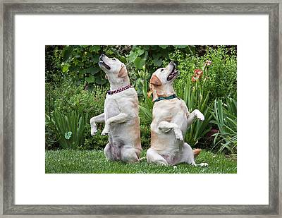 Two Yellow Labrador Retrievers Sitting Framed Print by Zandria Muench Beraldo