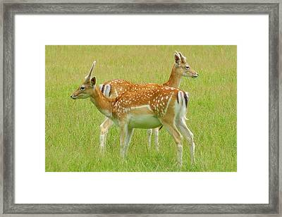 Two Young Deer Framed Print by DerekTXFactor Creative