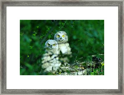 Two Young Owls Framed Print by Jeff Swan