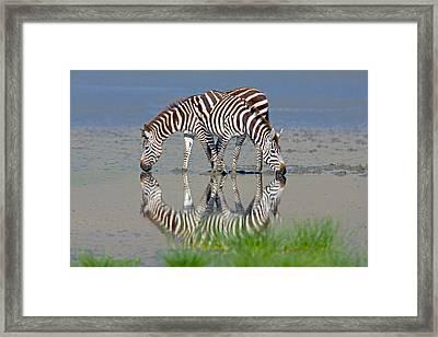 Two Zebras Drinking Water From A Lake Framed Print
