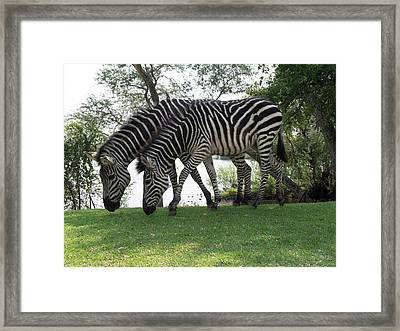 Two Zebras Eating Grass At Royal Framed Print by Panoramic Images