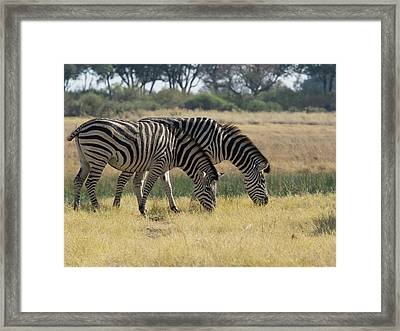 Two Zebras Eating Grass, Moremi Game Framed Print by Panoramic Images