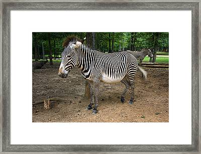 Two Zebras In The Clearing Framed Print by Chris Flees