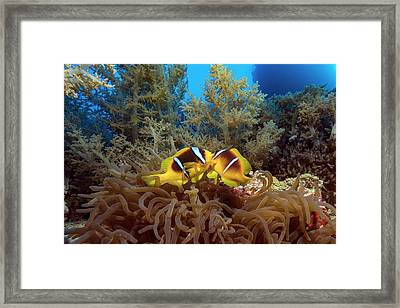 Twoband Anemonefish In An Anemone Framed Print by Alexis Rosenfeld/science Photo Library