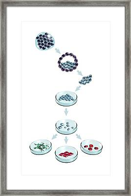 Types Of Stem Cell Framed Print by Mikkel Juul Jensen