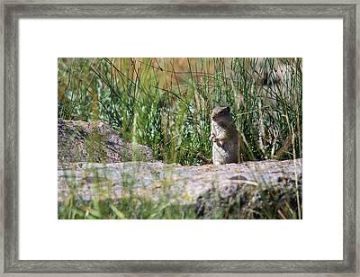 Uinta Ground Squirrel Framed Print