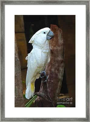 Umbrella Macaw Framed Print by Paul Smith