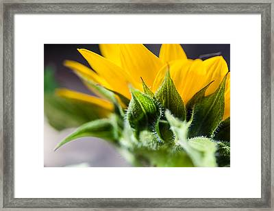 Under A Sunflower Framed Print by April Reppucci