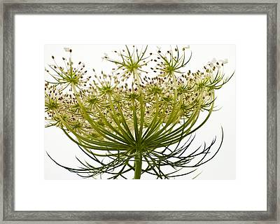 Under Queen Anne's Lace Framed Print