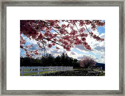Under The Cherry Blossom Framed Print