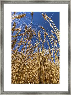 Under The Wheat Framed Print
