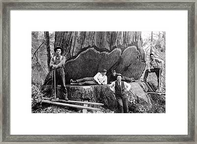Undercutting A Great Redwood 1890 Framed Print