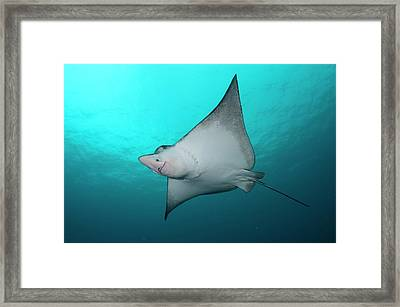 Underside Of Spotted Eagle Ray Framed Print by Scubazoo