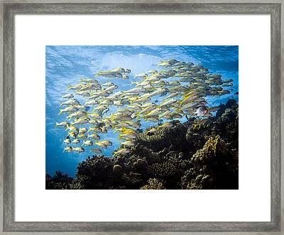 Underwater 15 - Mullets In Red Sea Framed Print by Markus Stepel