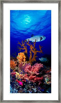Underwater View Of Bristly Puffer Fish Framed Print