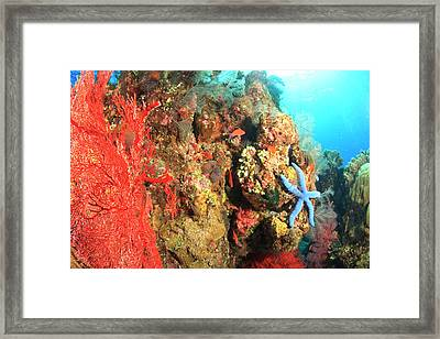 Underwater View Of Red Sea Fans Framed Print