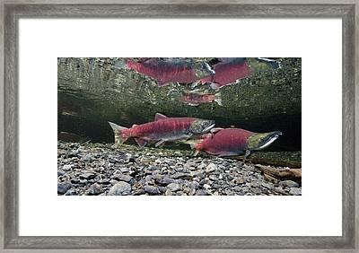 Underwater View Of Sockeye Salmon Framed Print by Thomas Kline