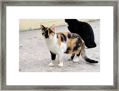 Golden Pirate Cat  Framed Print