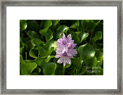 Unmanageable Beauty The Water Hyacinth Framed Print by Byron Varvarigos