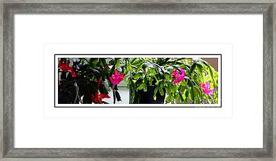 Unusual Simultaneous Bloomers 8 Framed Print by Barbara Griffin