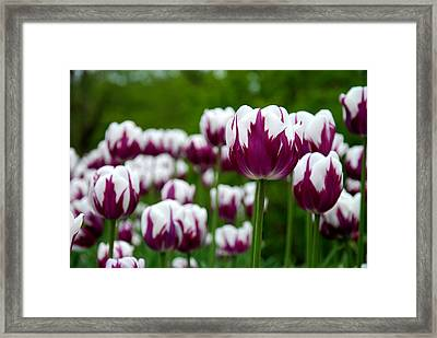 Unusual Tulips Framed Print by Jennifer Ancker