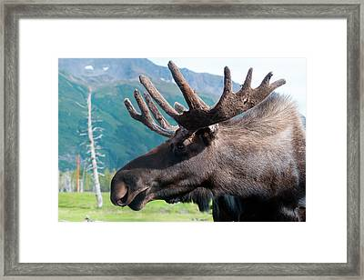 Up Close And Personal With A Moose Framed Print