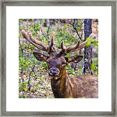 Framed Print featuring the photograph Up Close And Personal With An Elk by Bob and Nadine Johnston