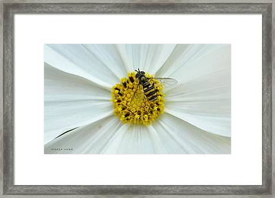 Up Close With The Bee And The Cosmo Framed Print