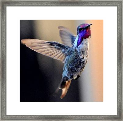 Framed Print featuring the photograph Up Up And Away Male Hummingbird by Jay Milo
