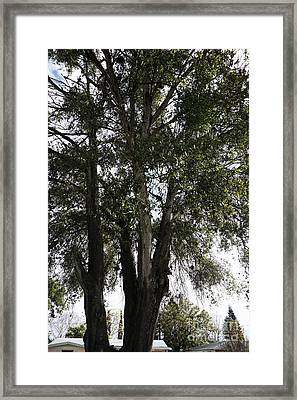 Up-view Of Oak Tree Framed Print