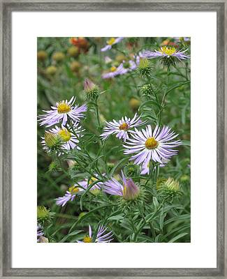 Uplifted Asters Framed Print