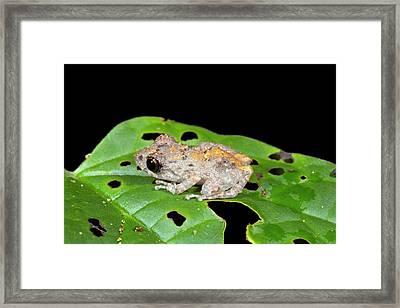 Upper Amazon Rain Frog Framed Print