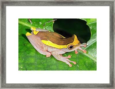 Upper Amazon Treefrog Framed Print by Dr Morley Read